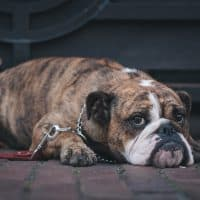 Tips to cure wrinkle, skin problems in English Bulldog