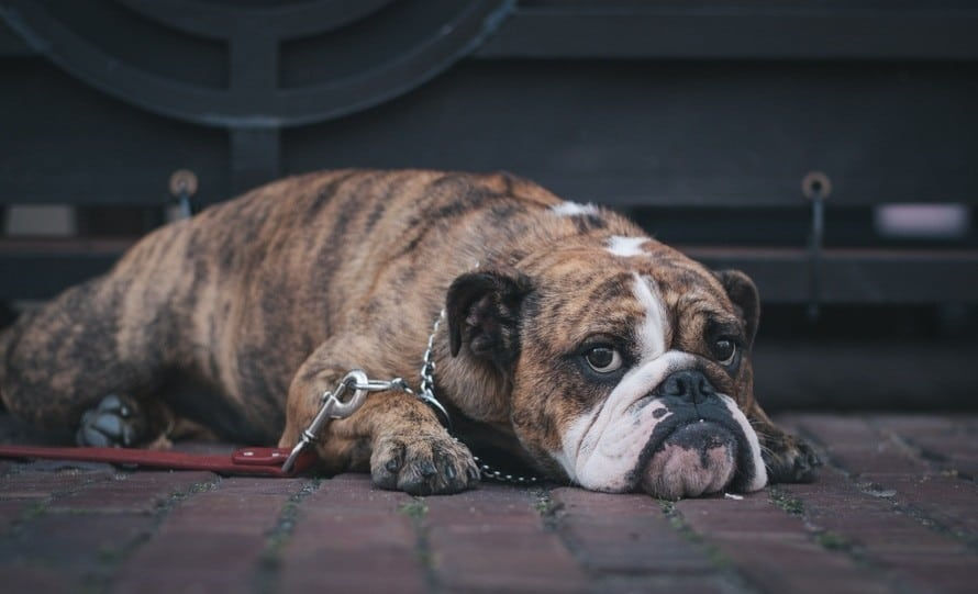 An overview on skin/wrinkle problems in English bulldogs