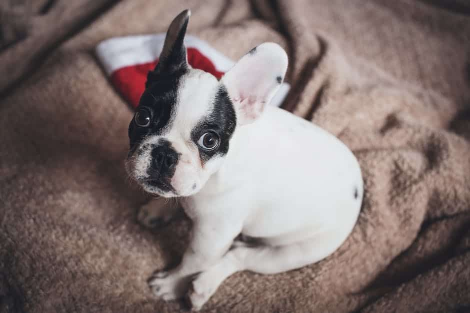 tips-to-take-care-of-french-bulldog-puppies