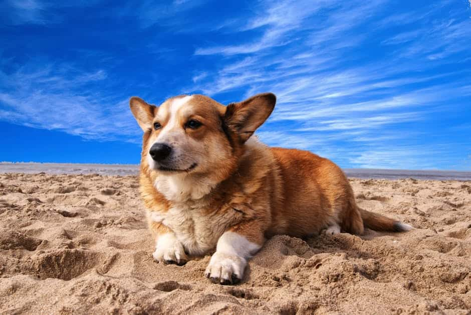 Special care tips for bulldog and other short-snouted dogs in summer