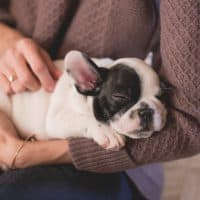 Tips to Care for your English Bulldog Puppy