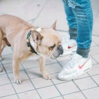 Guide to training your English bulldog