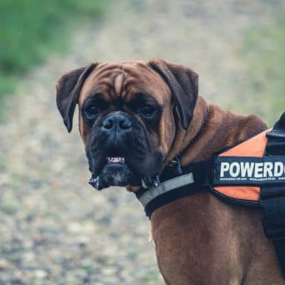 How to take care of your pet boxer
