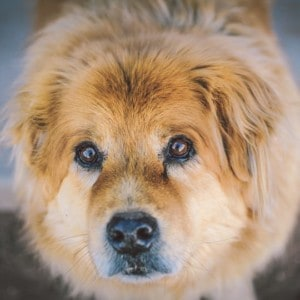 Treatment, symptoms and causes of corneal ulcers in dogs