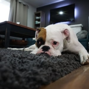 The vision defects faced by brachycephalic dogs