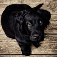 Cherry Eyes in dogs: what you need to know