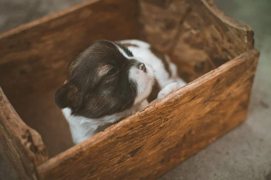 Puppy Desexing: weighing the advantages and disadvantages