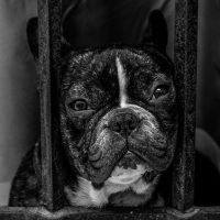 Some unknown facts about French bulldog