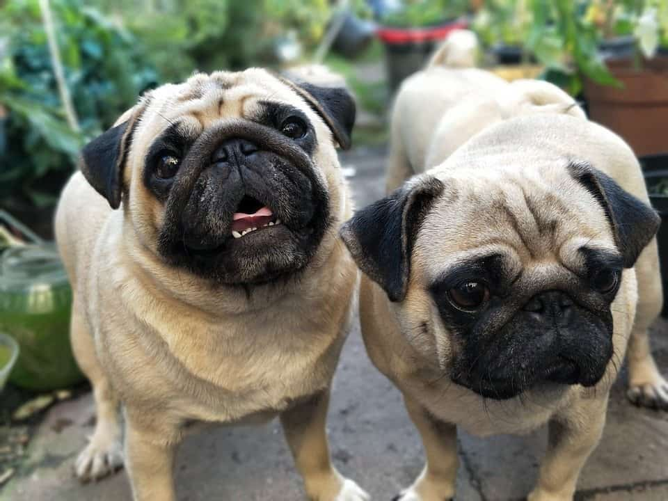 Amazing facts about pugs