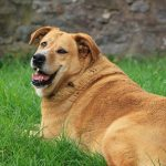 Common behavioral issues observed in overweight dogs