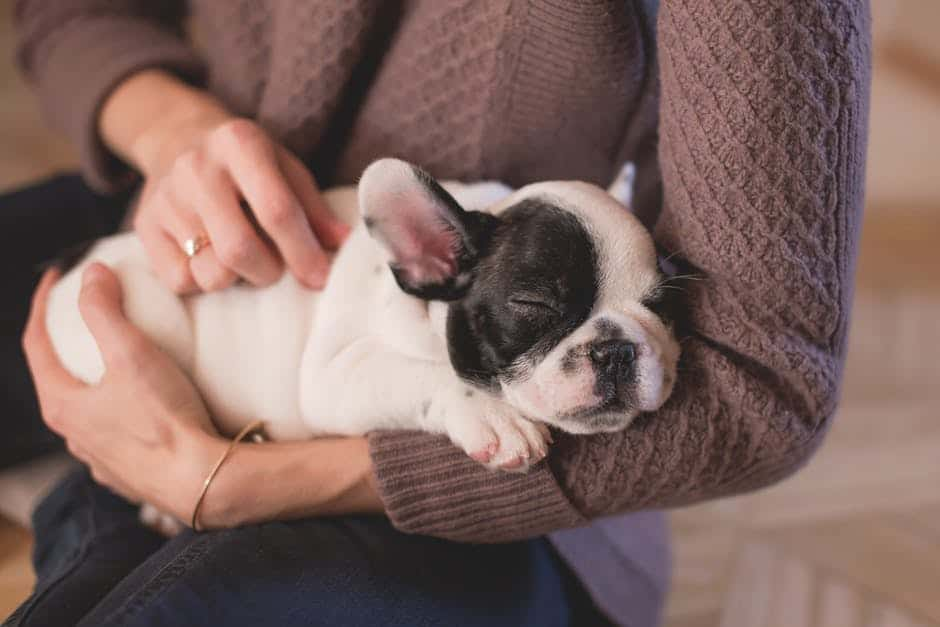 Eight top facts about Boston Terriers