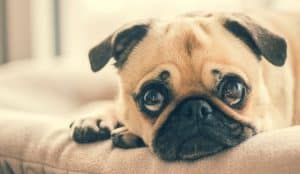 Pug Care: Frequently asked questions