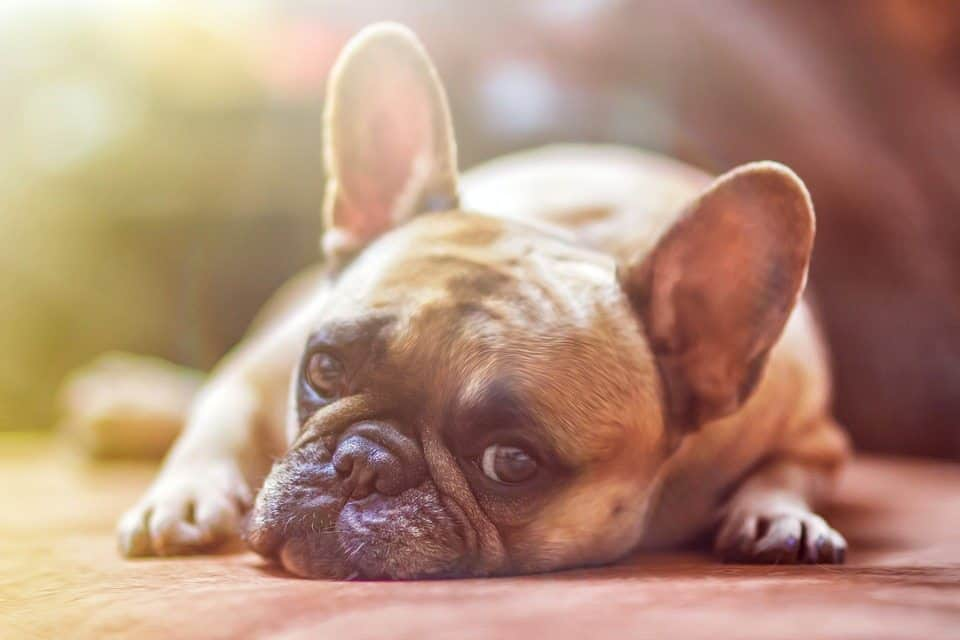 Breathing difficulty signs in brachycephalic dogs that you should keep an eye out for