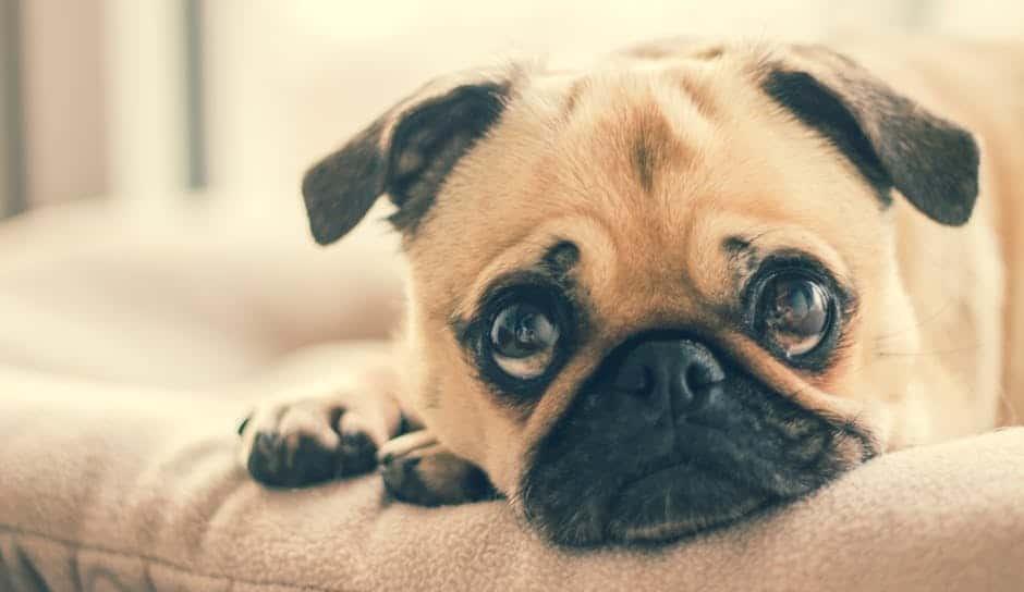 Risk of aspiration pneumonia in brachycephalic dogs