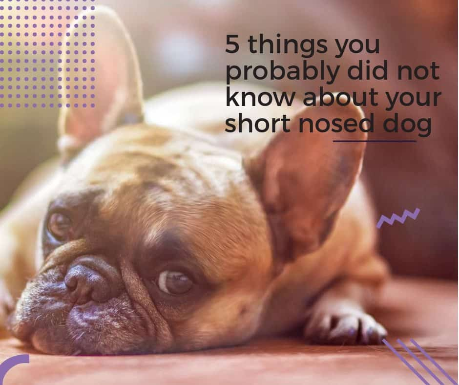5 things you probably did not know about your short nosed dog