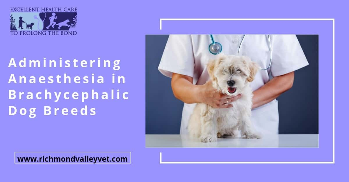 Administering Anaesthesia in Brachycephalic Dog Breeds
