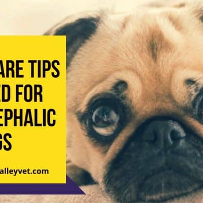Special care tips required for brachycephalic dogs