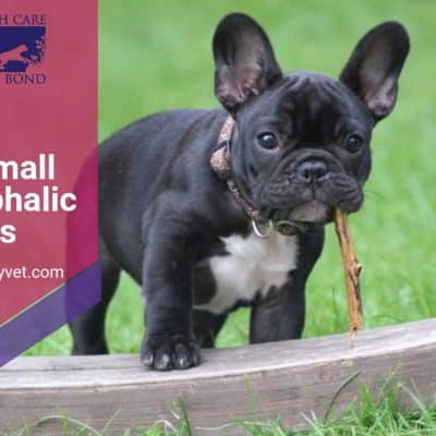 A list of small brachycephalic dog breeds