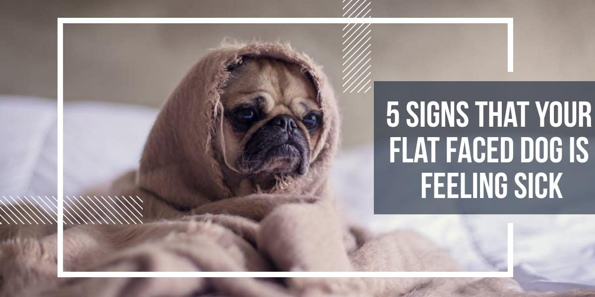 5 signs that your flat faced dog is feeling sick