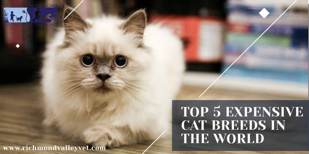 Top 5 expensive cat breeds in the world