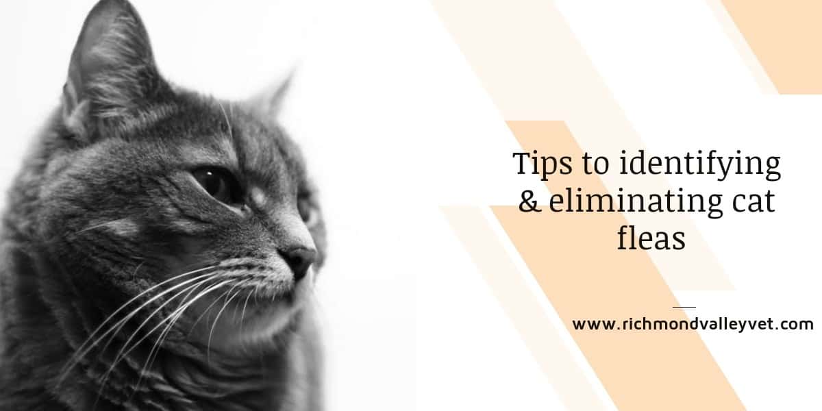 Tips to identifying & eliminating cat fleas