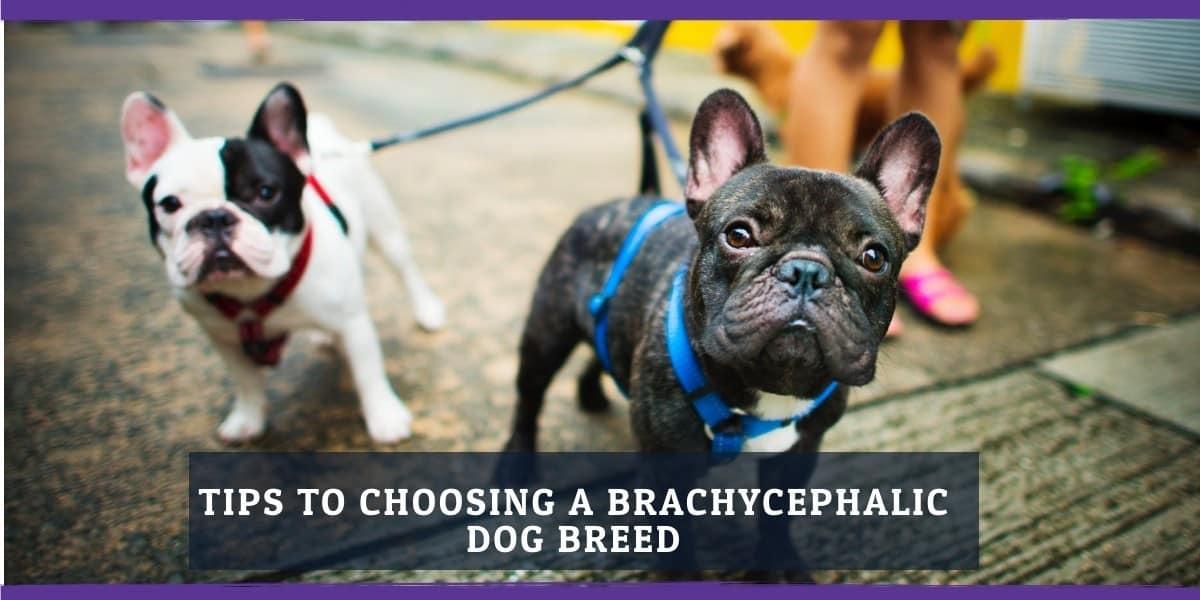Tips for choosing a brachycephalic dog breed