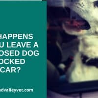 short nosed dog in a closed car gasping for air